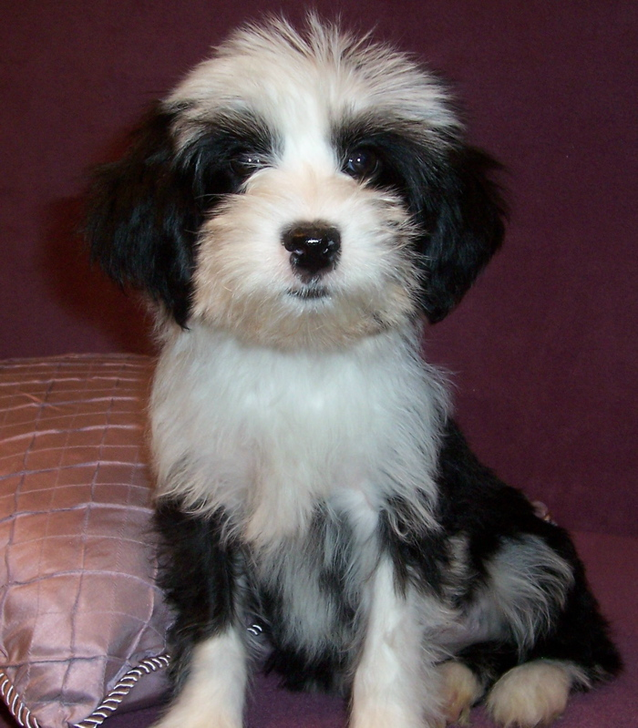 ... Terrier Puppy Pictures Tibetan Terriers Zimbio | Dog Breeds Picture